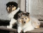 中国专业繁殖双血统苏格兰牧羊犬犬舍 可以上门挑选