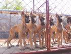 哪里有卖大丹犬 哪里出售大丹犬 大丹犬价格