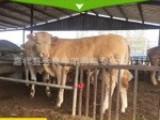 肉牛犊价格.鲁西黄牛.西门塔尔牛.波尔山羊.小尾寒羊