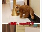 《家庭繁殖》猫咪钜惠 精品蓝猫英短渐层加菲低价售!