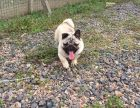 CKU认证犬舍 巴哥犬 保障健康 终生售后