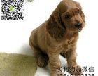 哪里有卖纯种可卡幼犬 品相纯正保证健康 欢迎上门