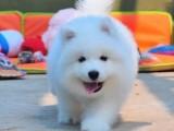 佛山养狗场出售多种宠物狗 纯种萨摩耶犬多少钱一只 多窝挑选