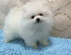 超可爱 顶级纯种哈多利博美幼犬 娇小体型 品质