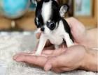余姚哪有吉娃娃犬卖 余姚吉娃娃犬价格 余姚吉娃娃犬多少钱