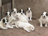 双血统中亚犬幼犬  疫苗齐全视频选狗