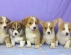 北京犬舍出售热卖纯种柯基犬幼犬全国发货包健康