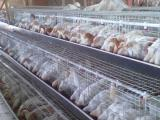 河北青年鸡养殖场-德州名声好的青年鸡供应商推荐