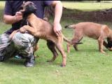 佛山马犬多少钱一只啊 马犬图片 价格纯种