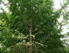 出售白果(银杏)树