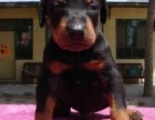 东莞出售杜宾犬可卡泰迪哈士奇萨摩耶秋田德牧阿拉斯加等各种名犬