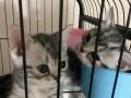 自己家养纯种美短7只幼猫出售