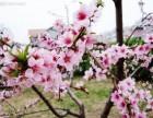 仅需99元古田桃林赏花 鸳鸯溪一日游 福州周边旅游