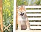 台州 售自家繁殖2-4个月柴犬 疫苗齐全包纯种包健康