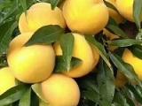 买早黄金桃苗当然选友科果树苗木,哪里有早黄金桃苗种植