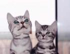 可爱的美短虎斑猫 调皮机灵的小家伙 喜欢猫咪的您下单带回家吧