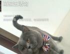 山西太原萌猫生活馆--猫舍换血优秀种公多只转让或借配