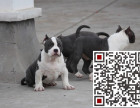 哪里有杜高犬的,杜高犬多少钱一只