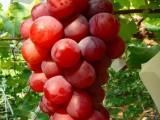 黑巴拉多葡萄苗,红宝石葡萄苗,美国红提葡萄苗,藤稔葡萄苗