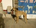 三升犬舍:格力犬、格慧犬、灵慧犬