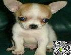 出售纯种吉娃娃幼犬 哪里卖健康吉娃娃多少钱 吉娃娃价格