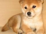 出售純種健康的柴犬幼犬 忠誠活潑靚麗聰明