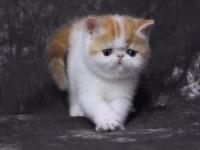 重庆本地出售**加菲猫净樊 纯白红虎斑 活动进行中
