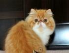 出售大眼可爱小波斯猫 健康活泼波斯猫 高贵优雅欢迎