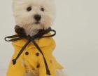 赛级品相西高地幼犬低价出售实物拍摄直接