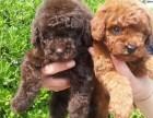 成都低价出售泰迪熊 博美 比熊 巴哥 德牧犬阿拉斯加犬舍繁殖