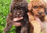 深圳狗狗之家长期出售高品质泰迪 比熊 博美 柯基 售后无忧