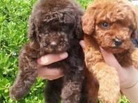 成都低價出售泰迪熊 博美 比熊 巴哥 德牧犬阿拉斯加犬舍繁殖