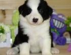 福州纯种边境牧羊犬价格 福州哪里能买到纯种边境牧羊犬