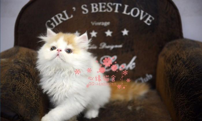 南宁哪里有正规宠物店买卖加菲猫 南宁较便宜加菲猫多少钱