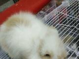 高品质垂耳兔便宜出售了