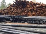 定州松木杆绿化杆