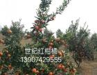 基地直供各类优质柑橘苗木 世纪红 沃柑 日南 大分 等