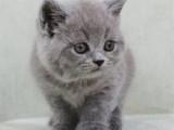 上海浦東雙血統澳血藍貓貓舍特惠