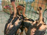 哪里有养殖越南斗鸡的呢