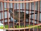 贵州哪里有老下山的画眉鸟