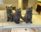 自家繁殖高品质蓝猫小宝宝