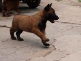 漳州什么地方有狗场卖宠物狗/漳州哪里有卖马犬