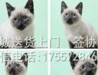 售海豹暹罗猫 猫咪 宠物猫活体幼猫 蓝眼