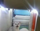 宠物猫 加菲猫 洗浴美毛 及周边服务