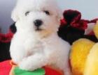卷毛小玩具比熊宝宝活动低价出售中有协议有担保