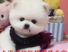上海闵行狗场直销小型犬博美幼犬球体博美 俊介 疫苗齐全签协议