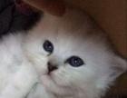 短毛猫2000元