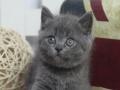 纯种英短蓝猫短毛猫健康讨人喜欢购买送猫用品