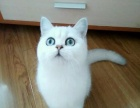 机会难得!美短银渐层 加菲 蓝猫 宝宝特惠