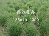 潍坊细叶针芒哪里有供应_细叶针芒种植基地